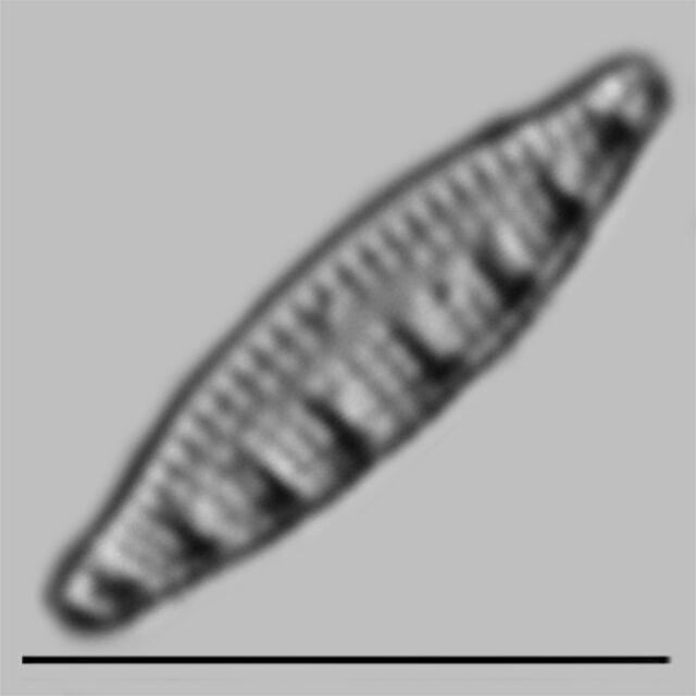 Nitzschia Sinutata Delogne Iconic