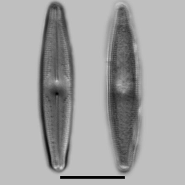 Nupela Pocoensis Iconic