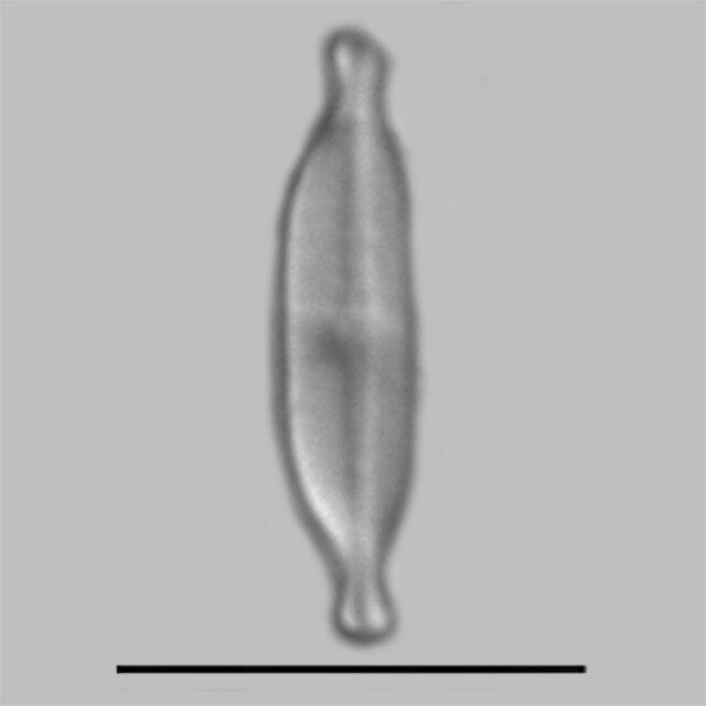 Nupela Tenuicephala Iconic