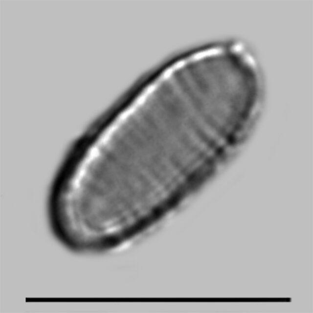 Oxyneis Binalis Elliptica Iconic