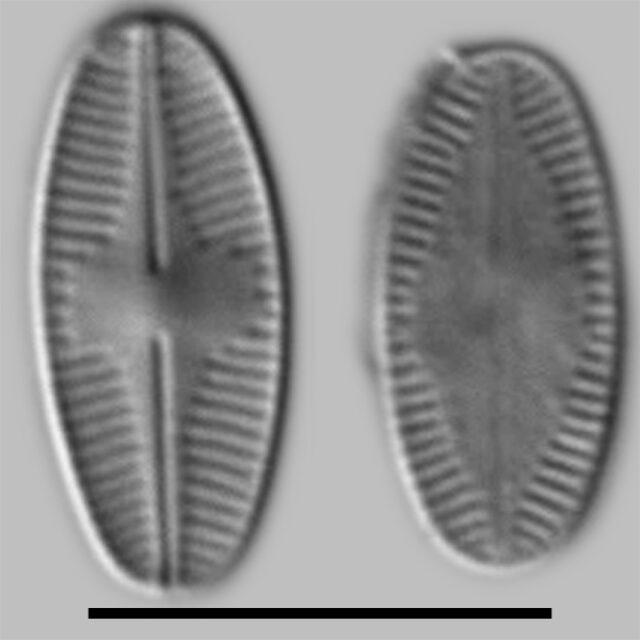 P Marginulatum Iconic
