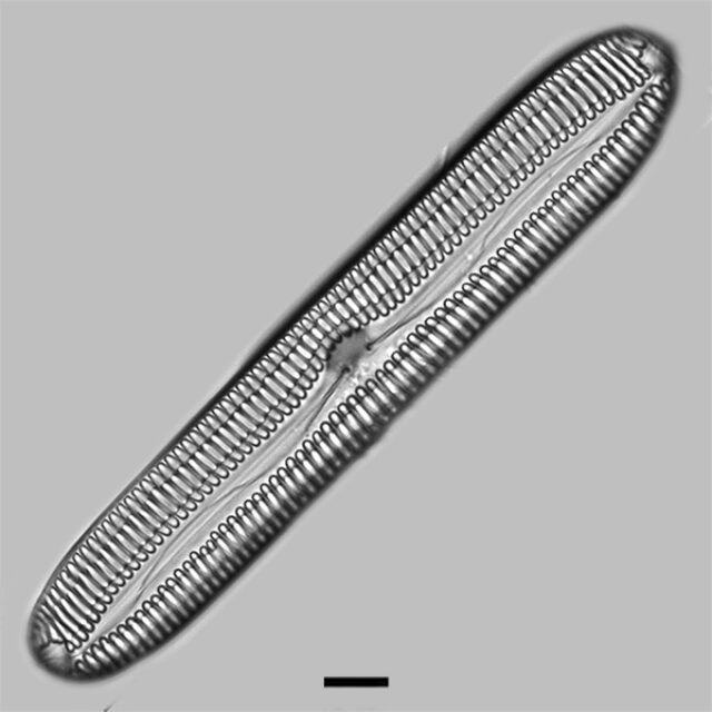 Pinnularia Streptoraphe Iconic