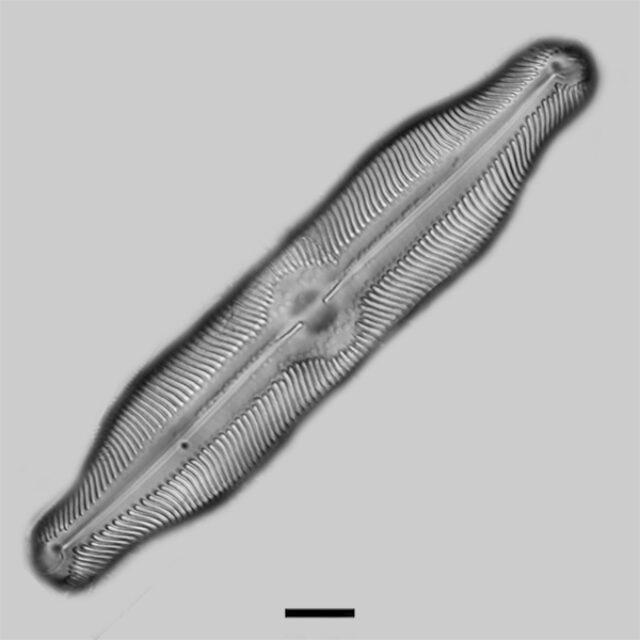Pinnularia undula major iconic