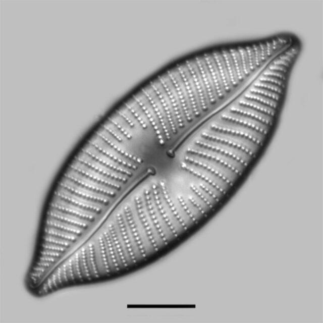 Placoneis Amphibola Iconic