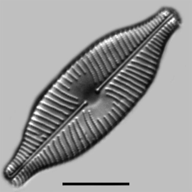 Placoneis Explanata Iconic