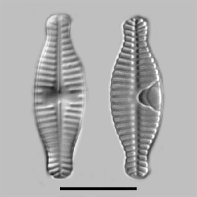 Planothidium Bipororum Iconic2