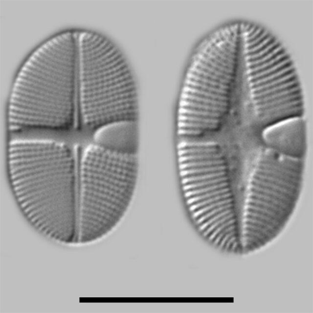 Planothidium Calcar Iconic
