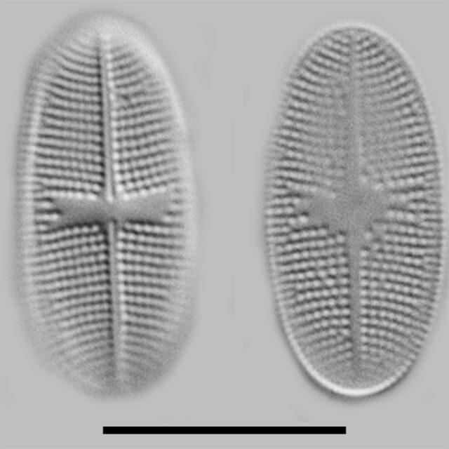 Psammothidium Alpinum Iconic