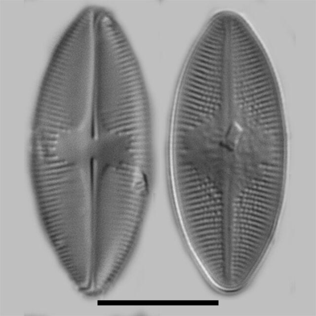 Psammothidium Lacustre Iconic