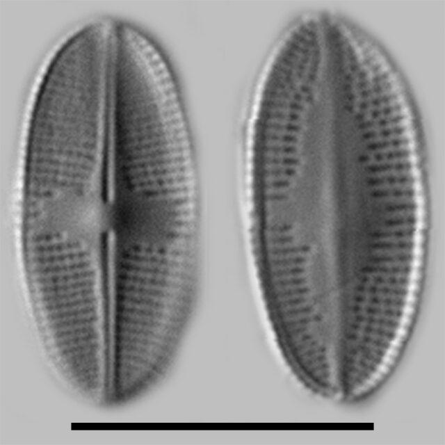 Psammothidium Nivale Iconic