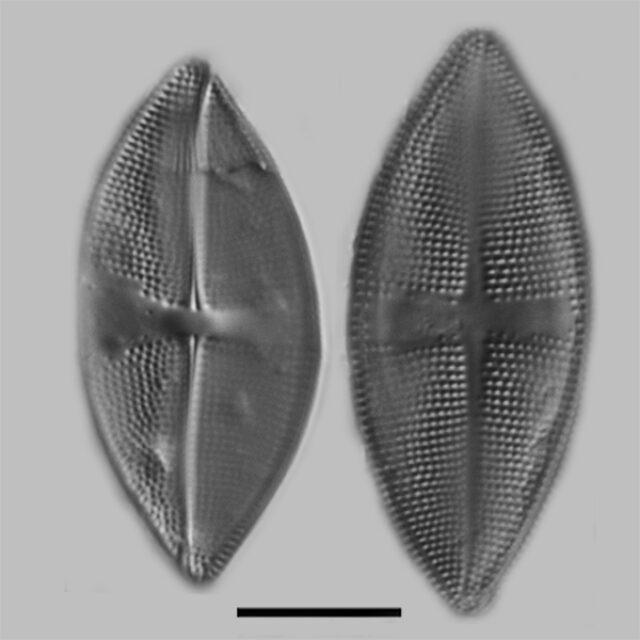 Psammothidium obliquum iconic