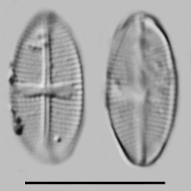 Psammothidium Rossii2 Iconic