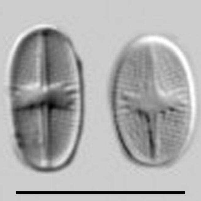 Psammothidium Subatomoides Aac