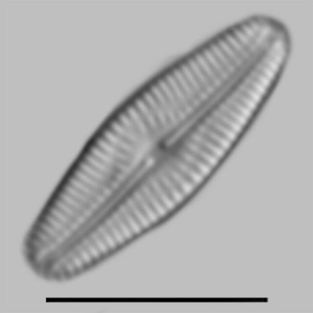 Pseudofallacia Monoculata Aac