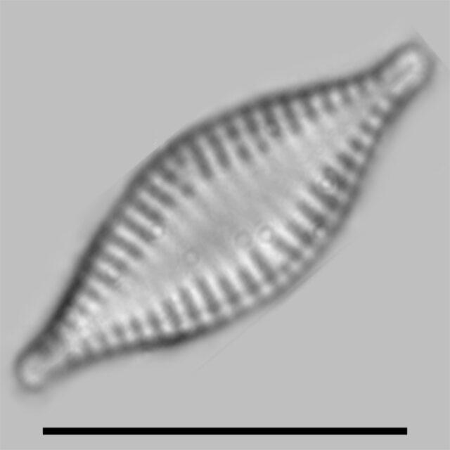 Pseudostaurosira Parasitica Iconic