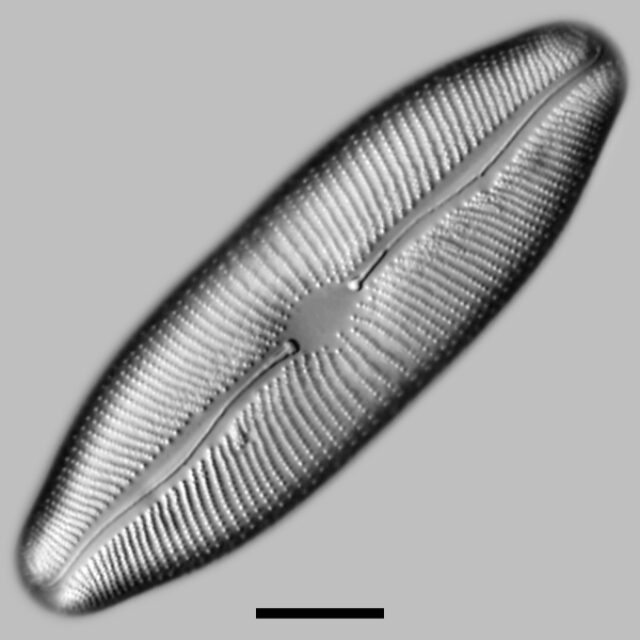 Rexlowea Navicularis Iconic