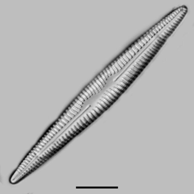 Rhoicosphenia Stoermeri Iconic