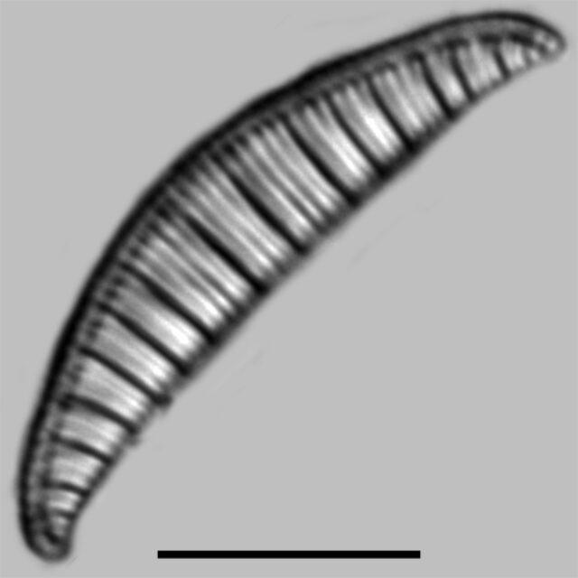 Rhopalodia Gibberula Iconic