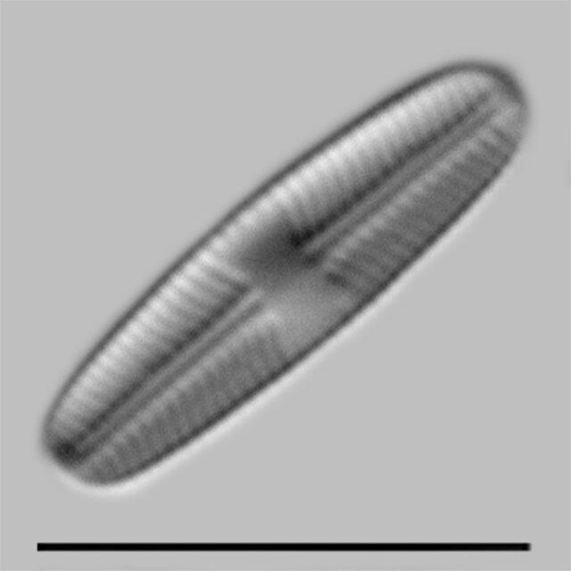 Sellaphora Atomoides Iconic