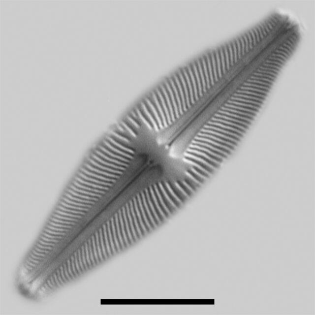 Sellaphora Californica Iconic