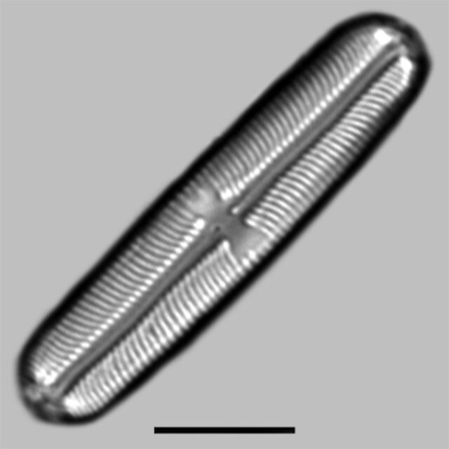 Sellaphora Laevissima Iconic