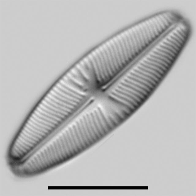 Sellaphora Meridionalis Iconic