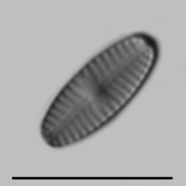Sellaphora Saugerresii Iconic