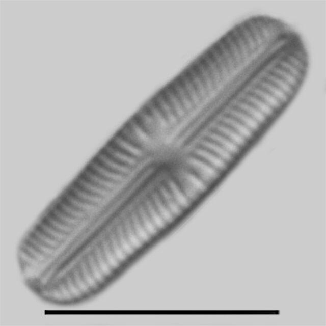 Sellaphora stroemii iconic