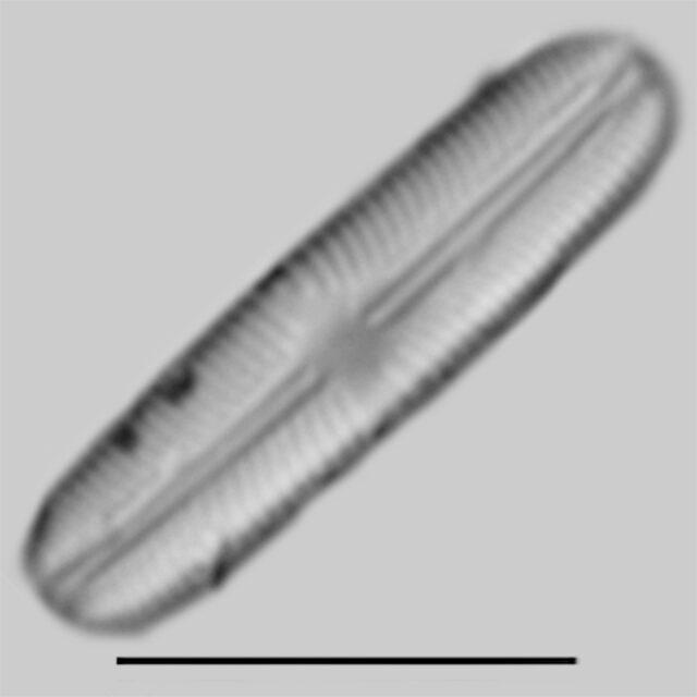 Sellaphora subbacillum iconic