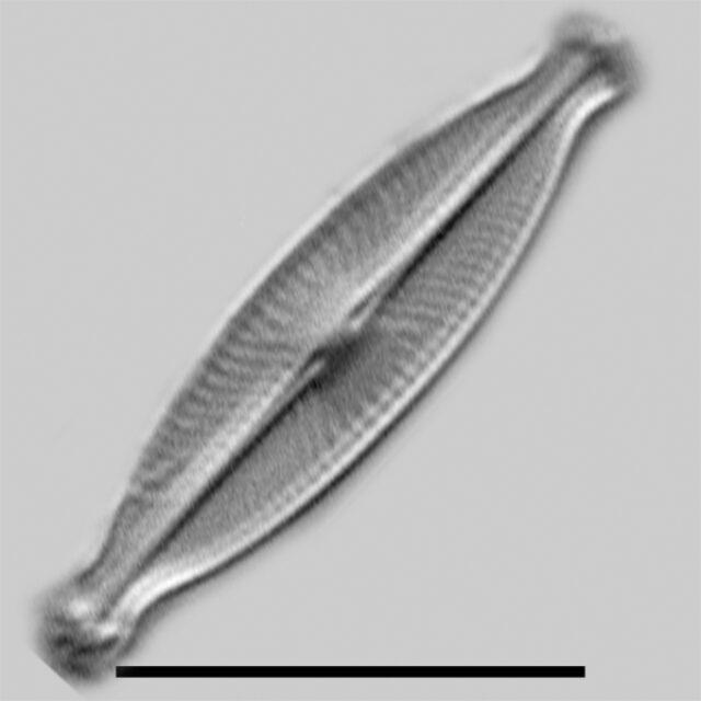 Sellaphora Subfasciculata Iconic