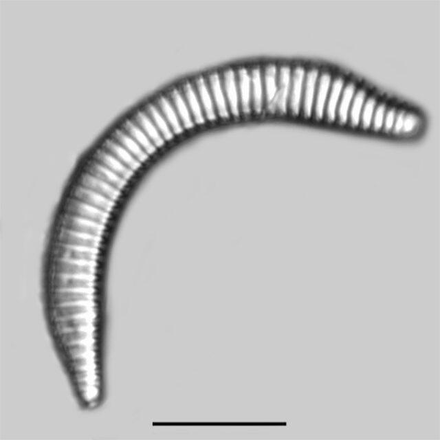Semiorbis eliaseae iconic