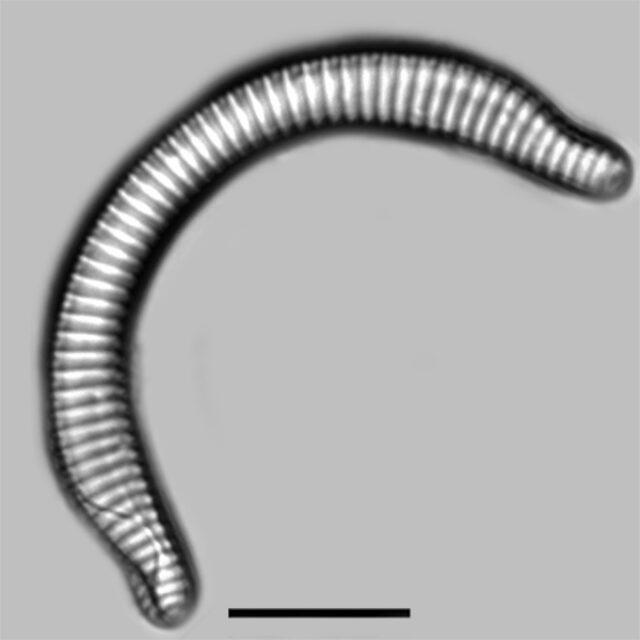 Semiorbis Rotundus Iconic