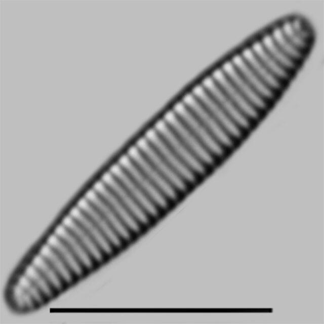 Stauroforma Exiguiformis Iconic
