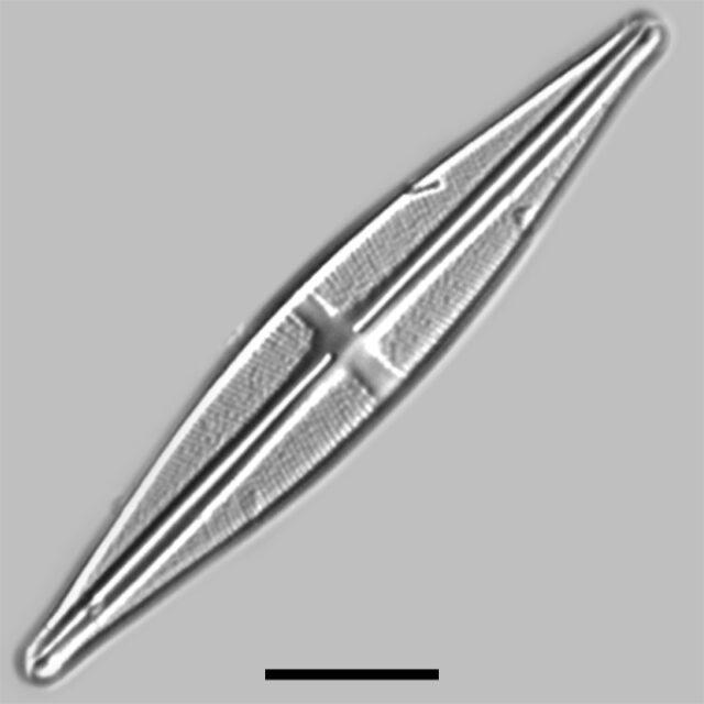 Stauroneis Bryocola Iconic