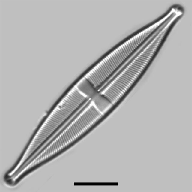 Stauroneis Vandevijveri Iconic