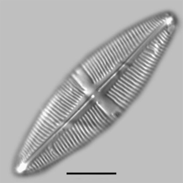 Staurophora Amphioxys Iconic