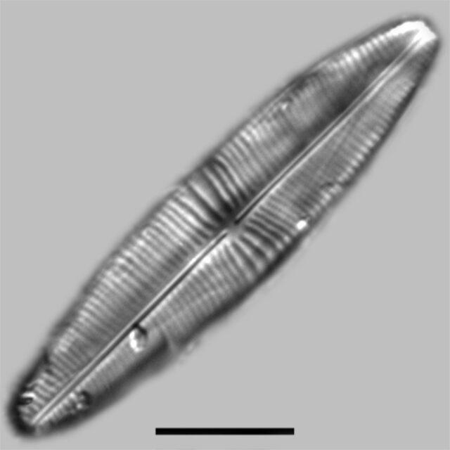 Staurophora Columbiana Iconic