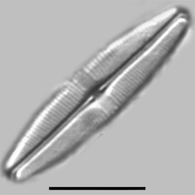 Staurophora Tackei Iconic