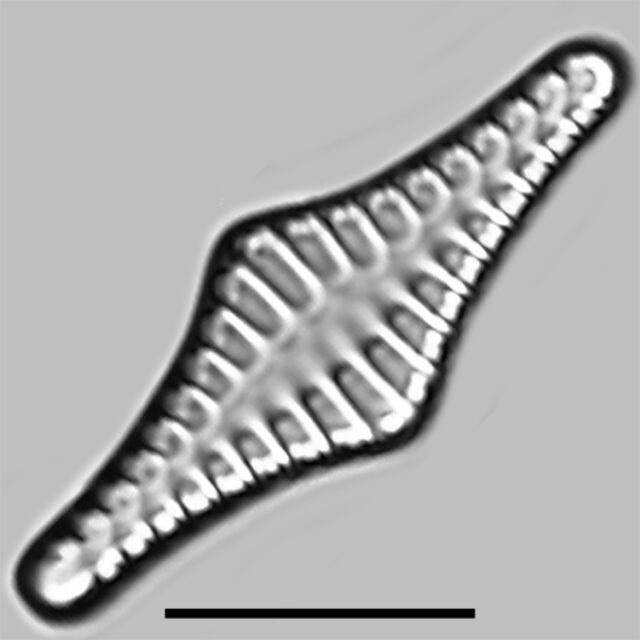 Staurosirella Rhomboides Iconic