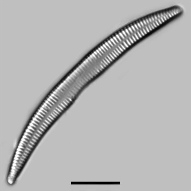 Synedra Cyclopum Iconic