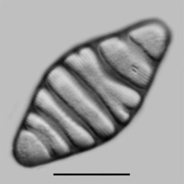 Tetracyclus Hinzii Iconic