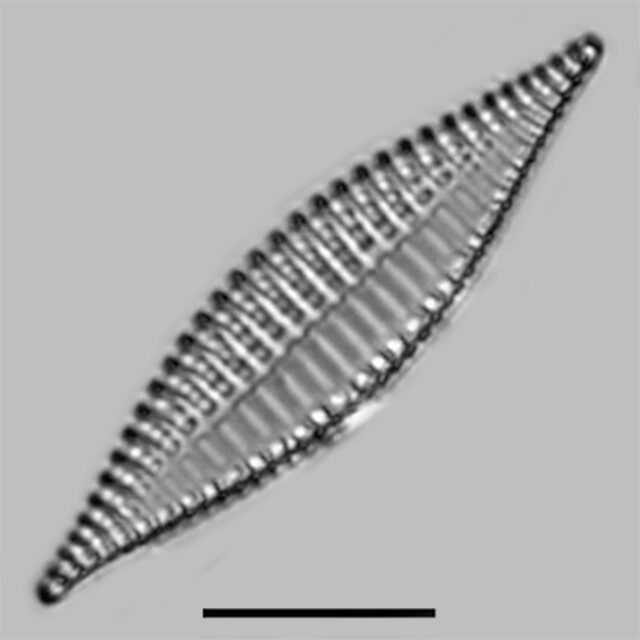Tryblionella Lanceola Iconic