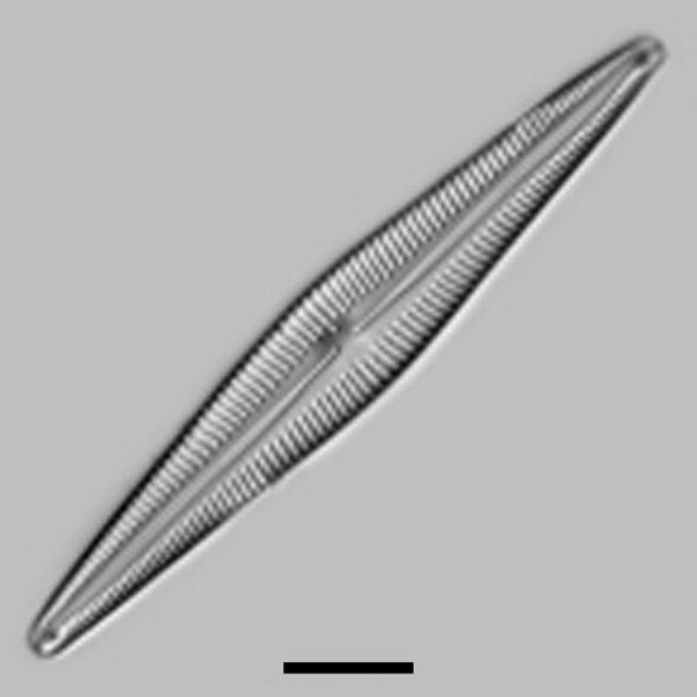 Kurtkrammeria Lacusglacialis Aac