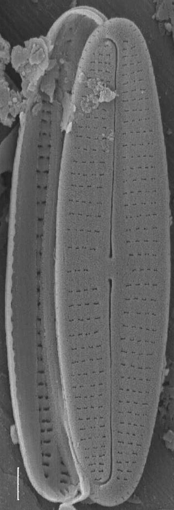 Achnanthidium deflexum SEM4