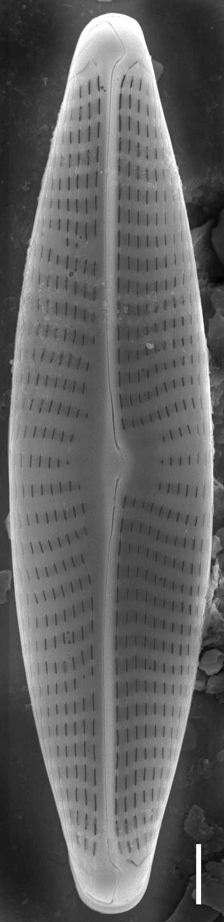 Navicula erifuga SEM2