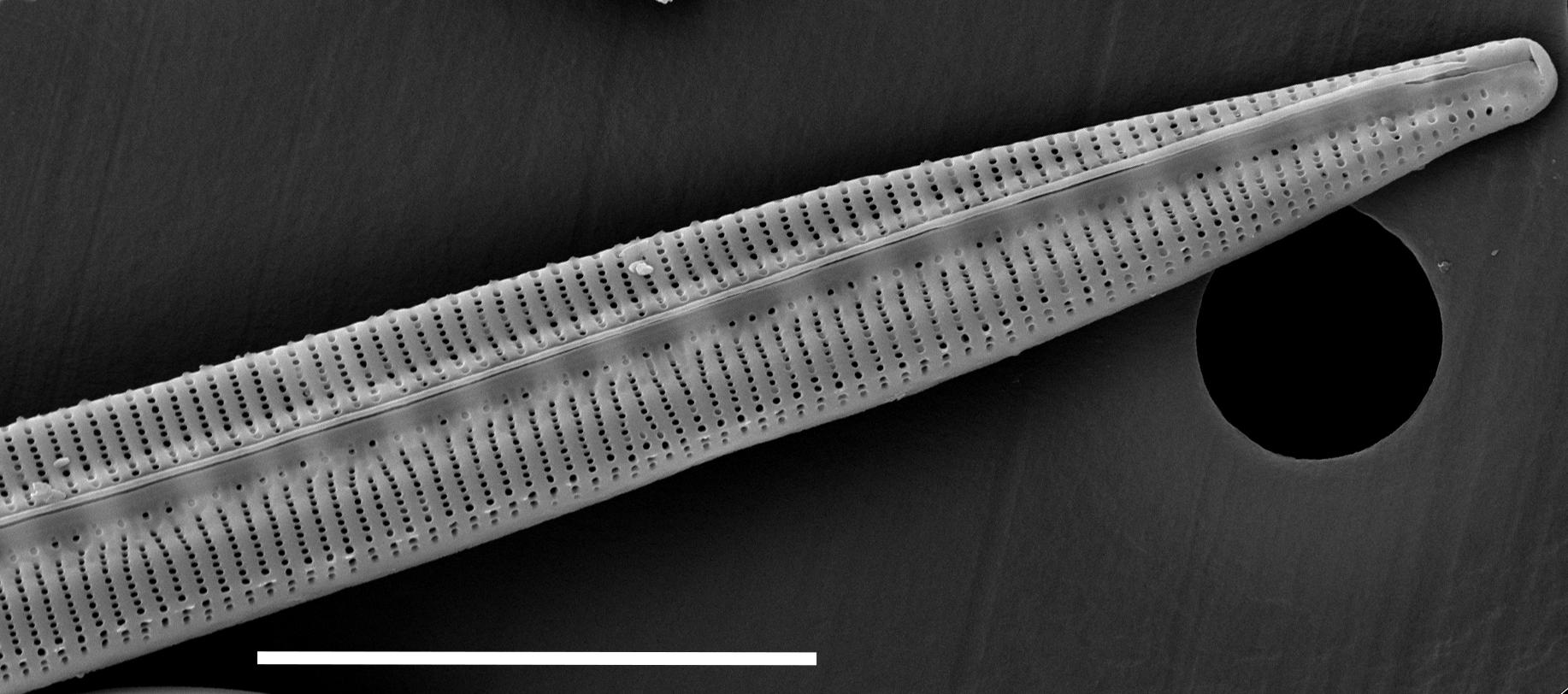 Bacillaria Paradoxa 15555  Sem 067