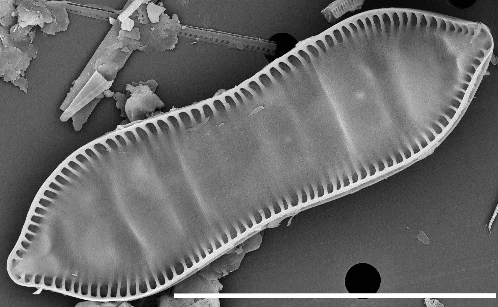 Cymatopleura Solea 15632  Sem 113