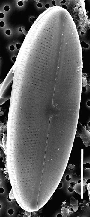 Muelleria Spauldingiae Whole 508001