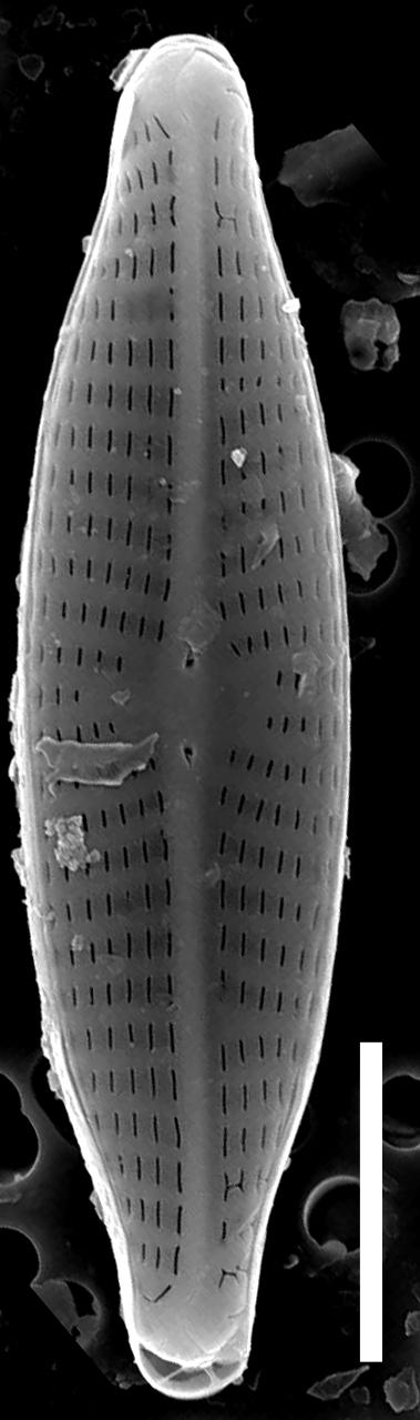Navicula trilatera SEM1