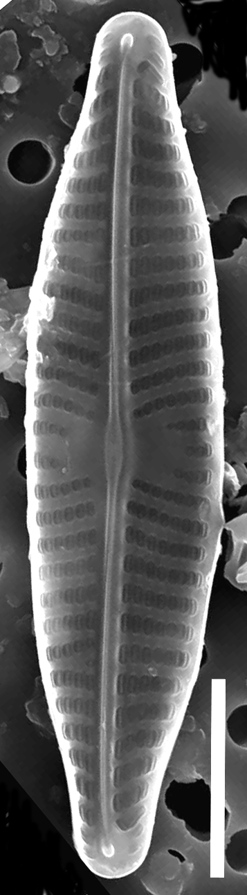 Navicuula trilatera SEM2